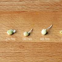 lentilhas germinadas