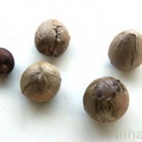 semente abacate